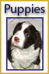 Springer Puppies Available